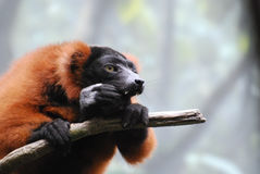 Red Ruffed Lemur with Long Fangs Clinging to a Branch. Amazing red ruffed lemur with long fangs sitting on a tree branch Royalty Free Stock Photo