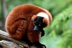 Red ruffed lemur. A red ruffed lemur looking frightened into the camera Stock Image