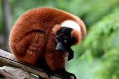 Red ruffed lemur. Stock Image