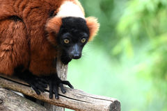 Red ruffed lemur. Stock Images