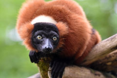 Red ruffed lemur. Stock Photo