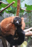 Red Ruffed Lemur at the Minnesota Zoo Royalty Free Stock Photography