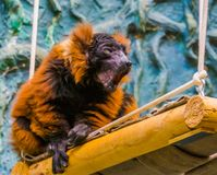 Red ruffed lemur monkey making sound, critically endangered animal specie from Madagascar. A red ruffed lemur monkey making sound, critically endangered animal royalty free stock photo