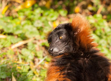 Red ruffed lemur portrait Stock Image