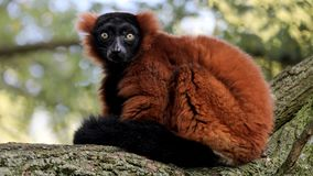 Red-ruffed lemur. Sitting on a tree branch Royalty Free Stock Photography