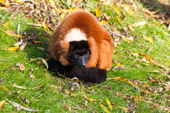 Red ruffed lemur resting Royalty Free Stock Images