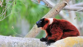 Red Ruffed Lemur Sitting Stock Photo