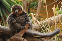 Red ruffed lemur sitting on a branch Stock Image
