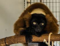 Red ruffed lemur sitting on a branch, critically endangered monkey from madagascar. A red ruffed lemur sitting on a branch, critically endangered monkey from royalty free stock image