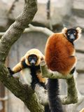 Red-Ruffed Lemur Royalty Free Stock Images