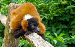 Red ruffed lemur sitting on wood in amsterdam zoo royalty free stock image