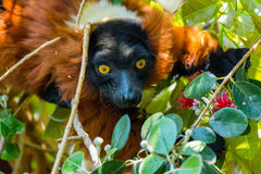 Red ruffed lemur in a tree Royalty Free Stock Photo