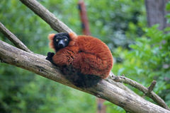 Red ruffed lemur on a tree Royalty Free Stock Image