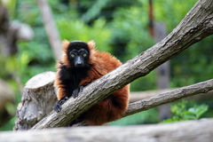 Red ruffed lemur on a tree Stock Image