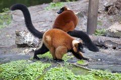 Red ruffed lemur (Varecia rubra) Stock Photos