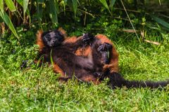 A red ruffed lemur Varecia rubra perched and resting and relaxing in the sun. These are native to the rainforests of Masoala, Madagascar royalty free stock image