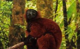 Red Ruffed lemur Varecia rubra perches on a tree Stock Photos