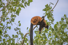 Red ruffed lemur, varecia rubra Royalty Free Stock Photography