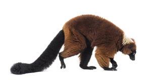 Free Red Ruffed Lemur, Varecia Rubra, Walking Against White Stock Photo - 161291740