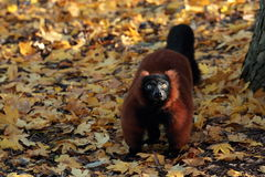 Red ruffed lemur. Stock Image