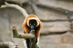 Red-Ruffed Lemur Stock Images