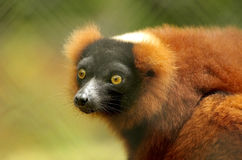 Red Ruffed Lemur Stock Photos