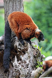 Red ruffed lemur yawning Royalty Free Stock Photography
