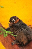 Red ruffed lemur on yellow background Royalty Free Stock Image