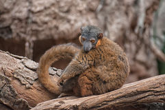 Red-ruffled Lemur Stock Image