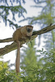 Red-ruffled lemur, Varecia rubra Royalty Free Stock Images