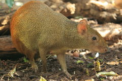 Red-rumped agouti Stock Images