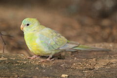 Red-rumped parrot Stock Images
