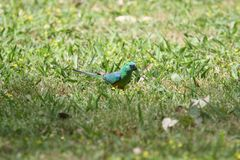 Red-Rumped Parrot (Psephotus Haematonotus). A Red-Rumped Parrot in Wonga Wetlands, NSW, Australia Royalty Free Stock Photography