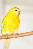 Red-rumped Parrot (Psephotus haematonotus) Royalty Free Stock Photography