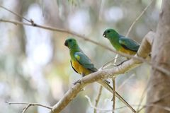 Red-Rumped Parrot (Psephotus Haematonotus) Stock Photo