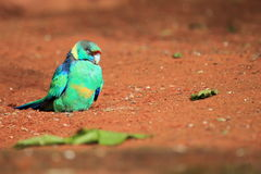Red-rumped parrot Stock Photo
