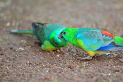 Red-rumped parrots Royalty Free Stock Photo