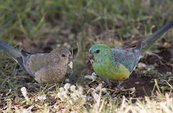 Red rumped parrots Stock Images