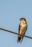 Red Rumped Swallow Royalty Free Stock Image
