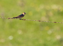 Red-rumped Swallow building the nest Stock Photo