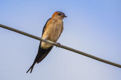 Red-rumped swallow Stock Images