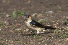 Red-rumped swallow (Cecropis daurica) Royalty Free Stock Images