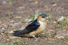 Red-rumped swallow Cecropis daurica Royalty Free Stock Images