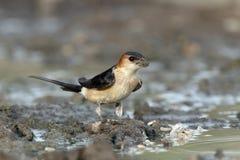 Red-rumped swallow, Hirundo daurica Stock Image