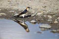 Red-rumped swallow, Hirundo daurica, Royalty Free Stock Photography