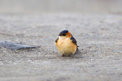 Red rumped Swallow resting on the ground Stock Photography