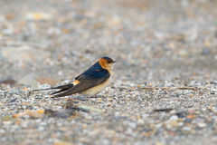 Red rumped Swallow resting on the ground Royalty Free Stock Image