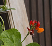 Red runner bean flowers and pods. Homegrown runner beans with healthy red pods and orange petalled seed flower Royalty Free Stock Photo