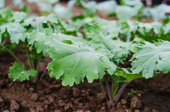 'Red Russian' Kale plants Royalty Free Stock Photography
