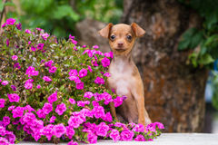 Red russian toy terrier puppy with flowers Stock Image